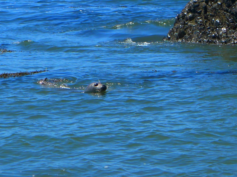 A harbor seal just off the shore