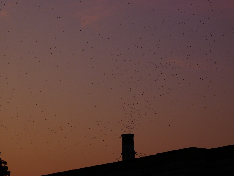 The whirlpool of swifts flying into the Chapman Elementary chimney