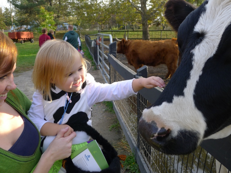 "The ""stinky cow"" petting a real stinky cow"