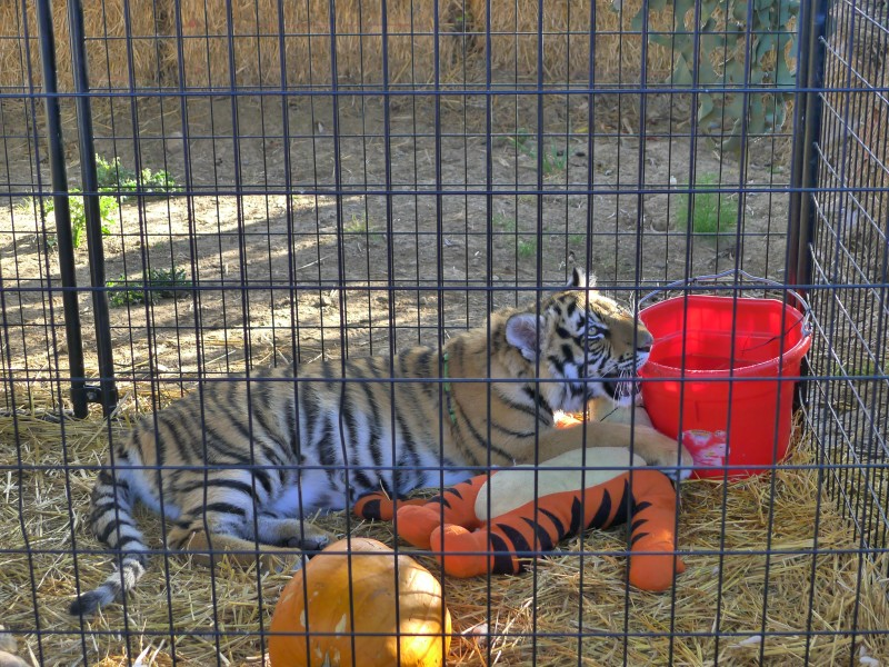 A baby tiger at the pumpkin patch