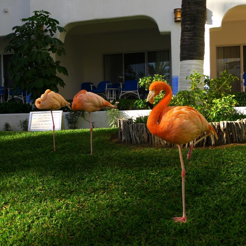 Flamingos roaming free at the sister hotel next door