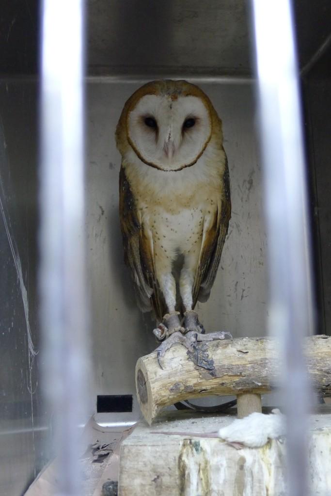 Poor hurt owl at bird refuge