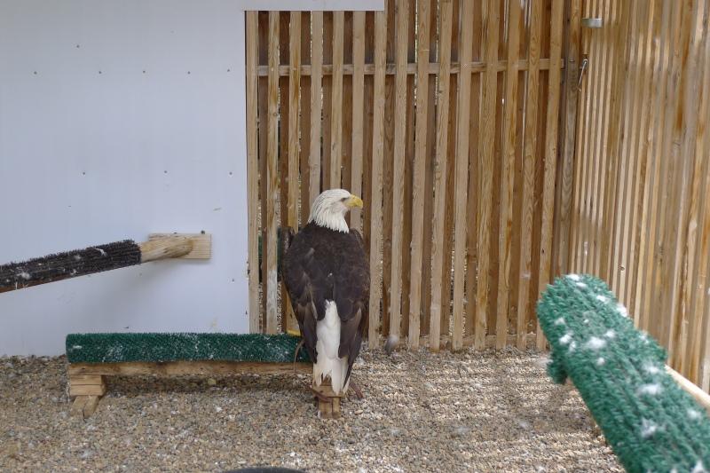 Hurt bald eagle at the bird refuge