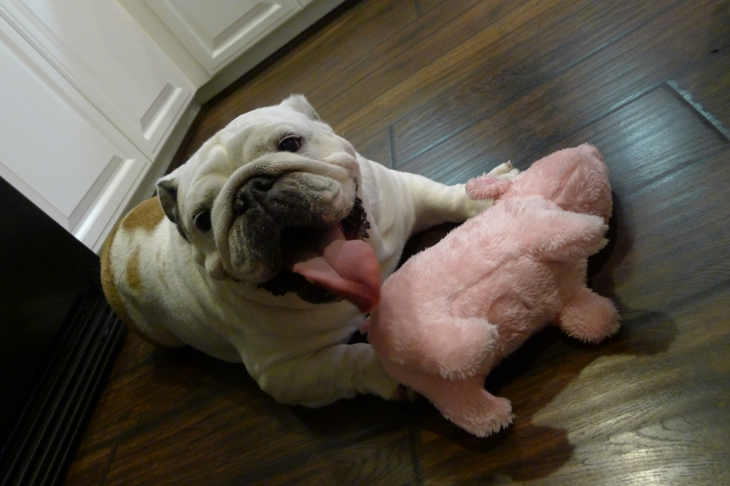 Champ enjoying her new stuffed piggy