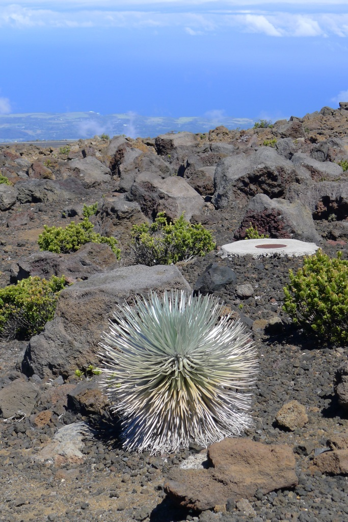The amazing, endangered Haleakalā silversword plants