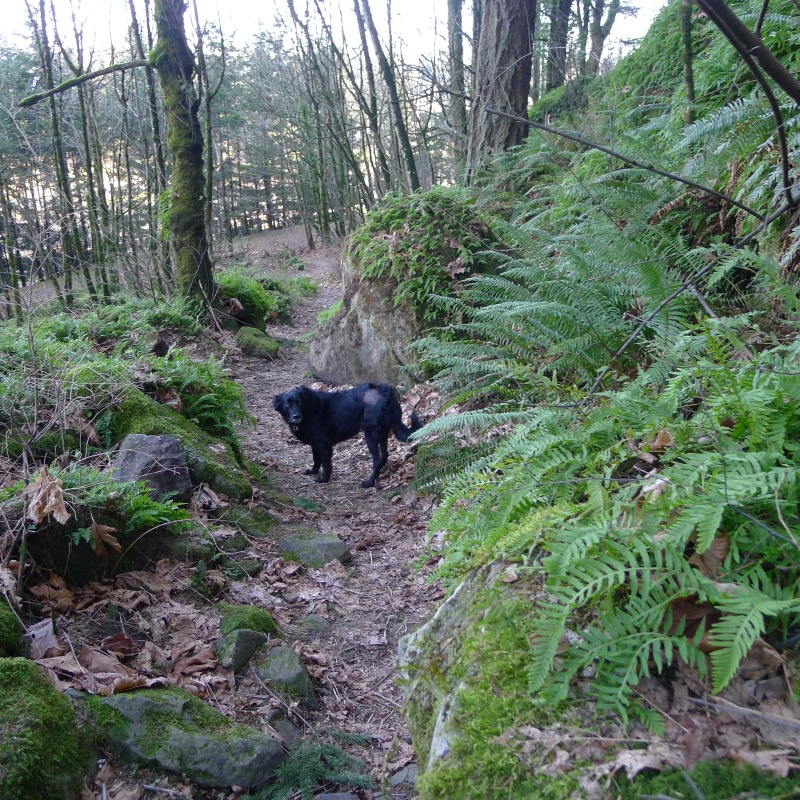 Cooper (still sporting his shaved patch from the biopsy)leading the way back down the Rocky Butte trail