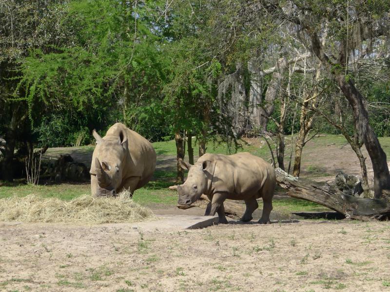 Rhinos, giraffes, and much more on Kilimanjaro Safaris
