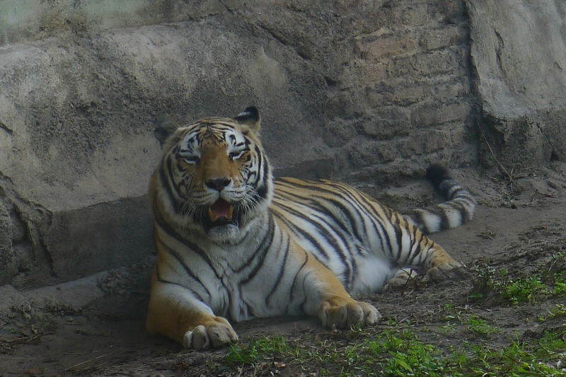 Hello, tiger.