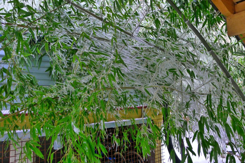 The icy, drooping bamboo in our backyard