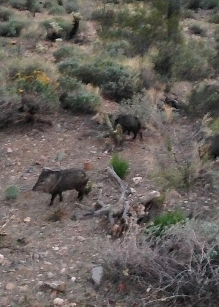 My first javelina sighting in Arizona