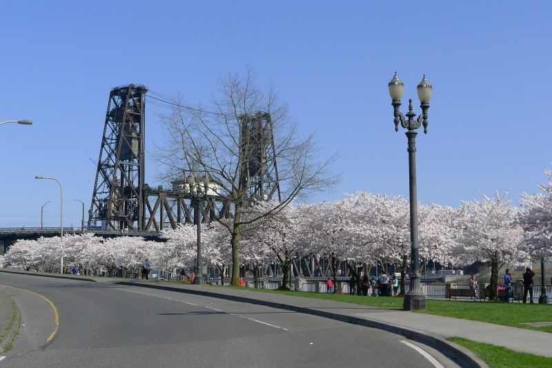 Cherry trees + Steel Bridge = so pretty!